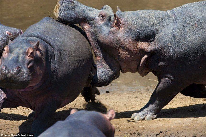 Hippo-deams (1)
