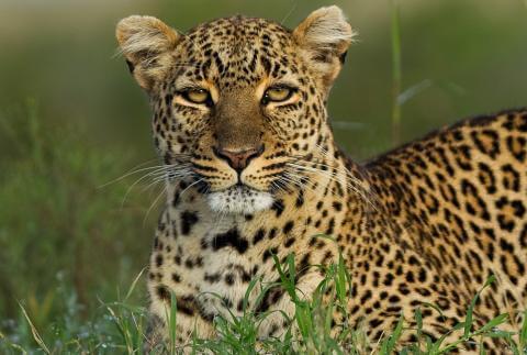 Leopard-dream (1)