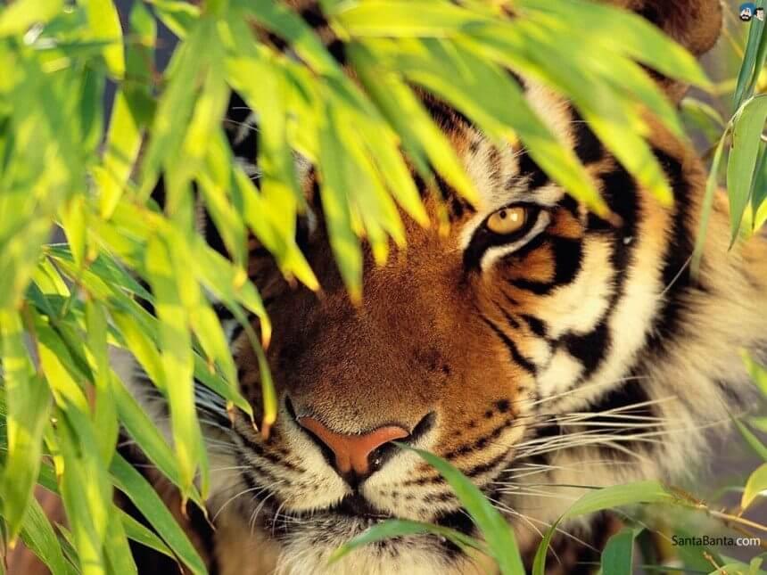 Tiger-Dreams (2) (1)