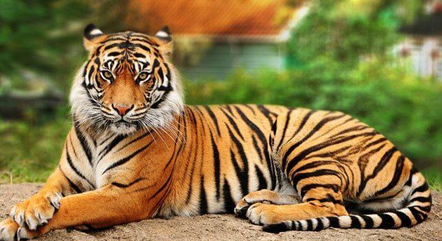 tiger-dreams (1)